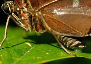 Week in Wildlife: A morpho peleides butterfly lays its eggs