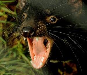 Week in Wildlife: A 14 month old Tasmanian Devil