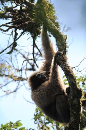 Week in Wildlife: A a silvery gibbon is seen in Gaoligong Mountain in Yunnan, China