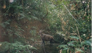 Saola: Wild saola camera-trapped in Bolikhamxay Province, central Laos