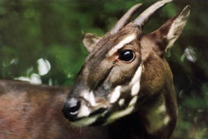 Saola:  a saola pauses in the jungle of Vietnam