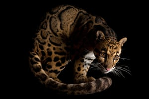 Biodiversity: Biodiversity: A clouded leopard at the Houston Zoo.