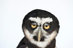 Biodiversity: Biodiversity: A spectacled owl at the New York State Zoo.