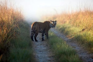 Week in wildlife: a tiger at the reserve in Corbett National Park
