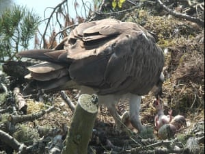 Week in wildlife: Osprey hatches chick number 48