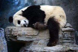 Week in wildlife: A Panda Bear sleeping at the Beijing Zoo