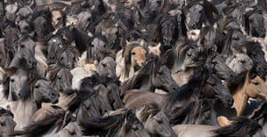 24 hours: Duelmen, Germany: Europe's last wild horses are driven into an arena