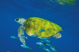 Ocean of Life : Giant Turtle