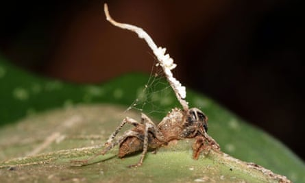 Zombie ant infected with parasitic fungus
