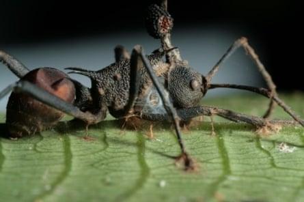 Zombie ant 2