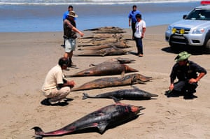 Morbillivirus in Peru: Dolphin carcasses at San Jose beach