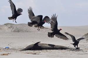 Morbillivirus in Peru: Over 800 dolphins found dead off Peruvian coast