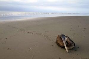 Morbillivirus in Peru: A dying pelican