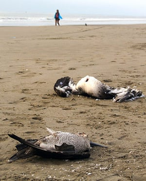 Morbillivirus in Peru: Dead cormorants