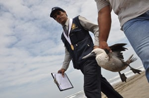Morbillivirus in Peru: an infected cormorant