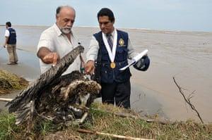 Morbillivirus in Peru: washed ashore carcasses of pelicans