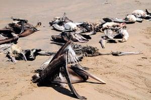 Morbillivirus in Peru: Dead pelicans are seen at Reventazon beach