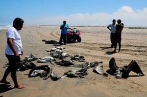 Morbillivirus in Peru: Dead pelicans close to the Illescas peninsula in Piura