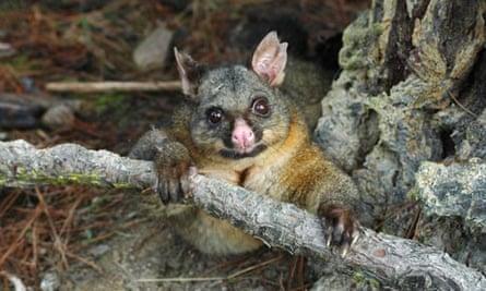 Possum, New Zealand