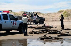 Morbillivirus in Peru: Dolphin carcasses  at San Jose beach,  north of Chiclayo