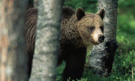 Brown bear in woodland