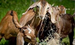 Cabrito's free-range goats