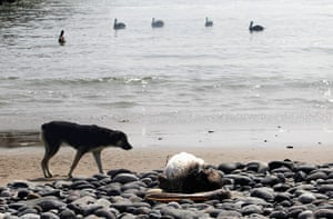 Peru dying pelican: A dog looks at a dead pelican lying along Cerro Azul beach in Canete, Lima