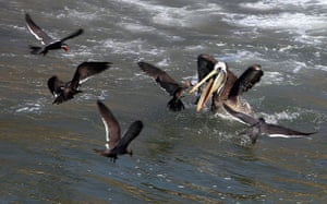 Peru dying pelican: An Inca Tern and a pelican are seen with gulls off Cerro Azul beach, Lima