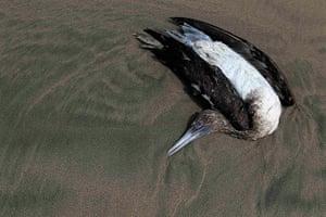 Peru dying pelican: A dead Guanay Cormorant bird lies on Cerro Azul beach in Canete, Lima