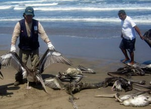 Peru dying pelican:  health ministry worker holds up the carcass of a pelican