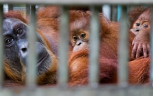 Leuser and Gober: Sumatran orangutang struggling due to deforestation in Aceh Indonesia