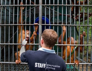 Leuser and Gober: Sumatran orangutang struggling against deforstation in Aceh Indonesia