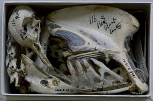 Pilgrimage: Skeleton of a pigeon studied by Charles Darwin