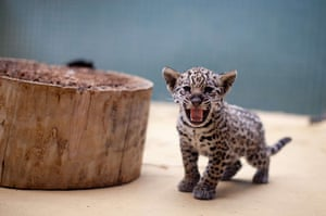 24 hours in pictures: A jaguar baby hisses at the Berlin Zoo