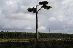 Amazon deforestation : A lone Amazon rainforest tree