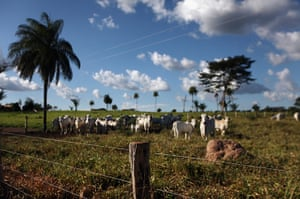 Amazon deforestation : Cows graze in a deforested section of Amazon rainforest