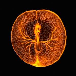 Wellcome: B0008295 Chicken embryo vascular system