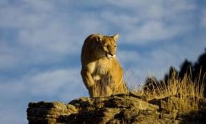MOUNTAIN LION, COUGAR IN MONTANA