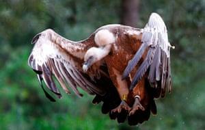 Week in Wildlife: A griffon vulture on the Spanish balearic island of Mallorca