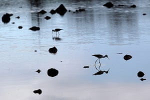 Week in Wildlife: Two black-necked stilts