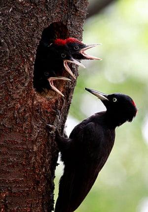 Week in Wildlife: South Korea Black Woodpecker