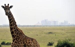 Week in Wildlife: A giraffe grazes inside the Nairobi National park