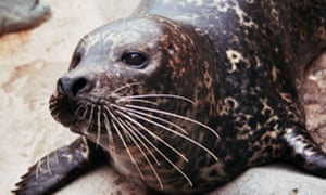 Duluth zoo harbor seal