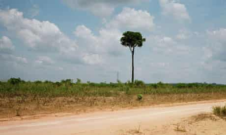 Solitary Brazil nut tree in cleared patch of rainforest