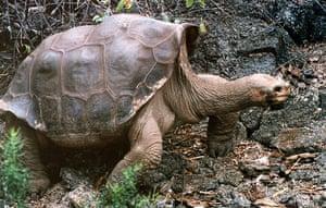 Lonesome George dies: Giant tortoise Lonesome George