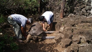 Lonesome George dies: The dead body of Lonesome George