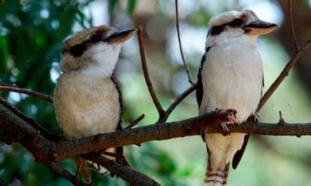 Two kookaburras sitting on a branch
