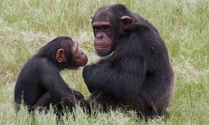 Chimpanzee attack leaves man in intensive care in South