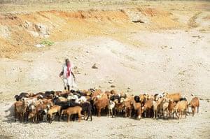 Shepherds: an Indian shepherd herds his sheep