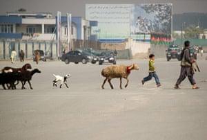 Shepherds: an Afghan shepherd  leads his flock